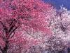 Японская сакура как растение символизирующее чистоту.  Одно из самых красивы растений в мире...